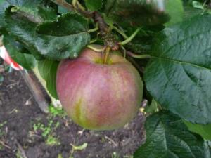 Appel Keizer A appel