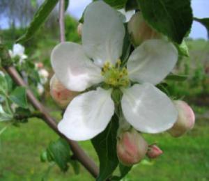 Appel Schellinkhouter bloesem